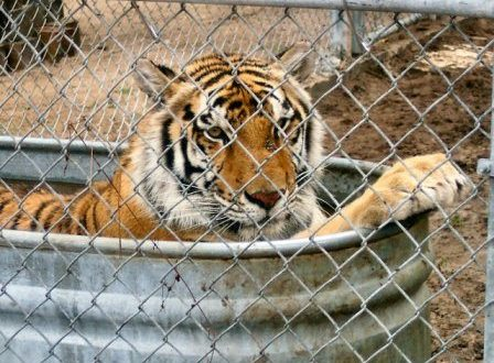 Employee of Tiger Haven Injured While Feeding Tigers