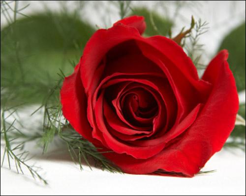 rose for u