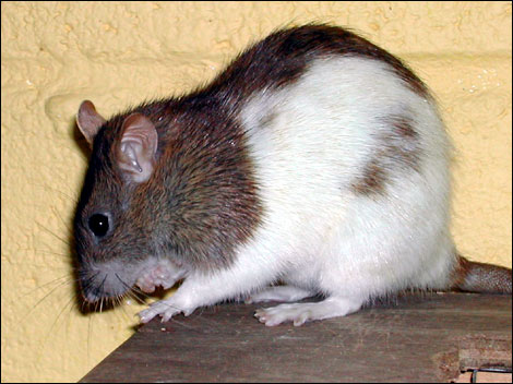 Mavis the rat