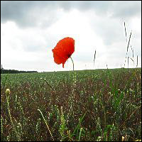A bright red poppy in a field.