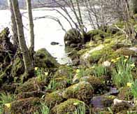 Photograph showing daffodils sitting amoungest tress