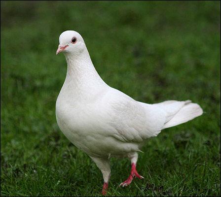 Pigeon-Photos