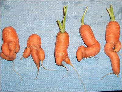 Misshapen Carrots Still Face EU Ban