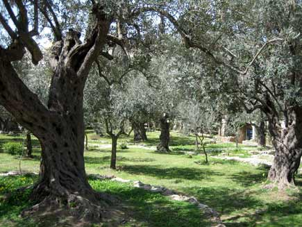 Garden of Gethsemane (courtesy of the BBC)