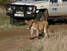 A lioness stands in front of a safari jeep