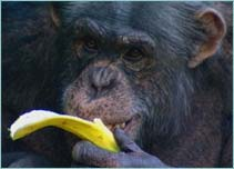 ape eating bannana