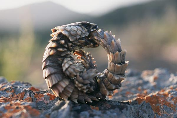 Armadillo lizard, South Africa