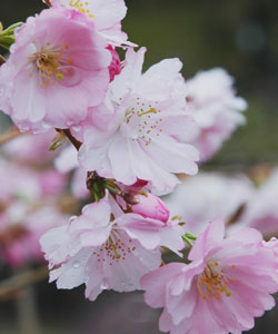 BBC   Gardening Blog  Winter Flowering Trees and Shrubs Prunus x subhirtella  Fukubana