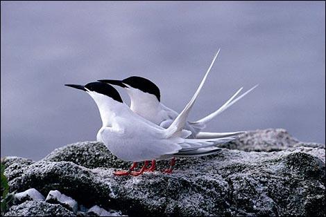 Roseate terns