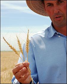 Hombre sostiene trigo