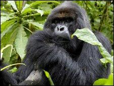 Gorila.
