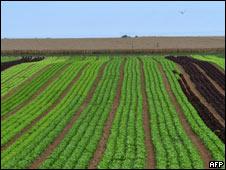 Plantación de lechugas