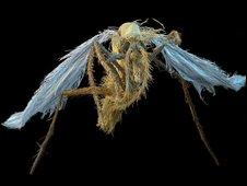 Mosquito de leishmaniasis