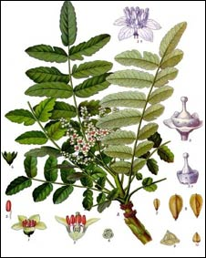 Planta del árobol de la Boswellia