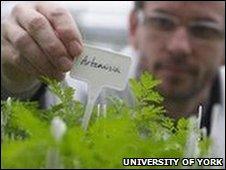 Planta de Artemisia annua
