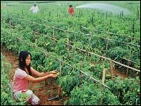 Chăm sóc ruộng rau ở Quỳnh Đôi, Quỳnh Lưu, Nghệ An