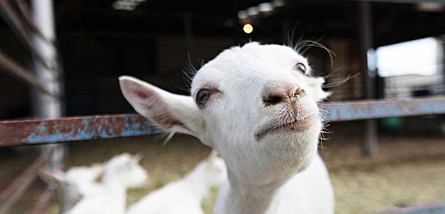 Cabras transgénicas que producen seda en su leche