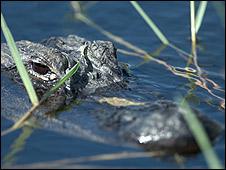 El caimán estadounidense es la especie insignia de los Everglades.