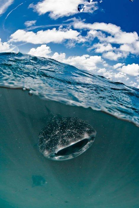 Whale Shark blue marine foundation
