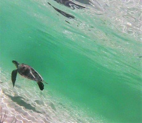 bahamas sea turtle dana gardner