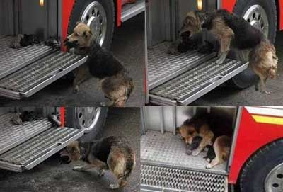 A heroic mother dog saved her 10-day-old puppies from a house fire; board them to a fire truck