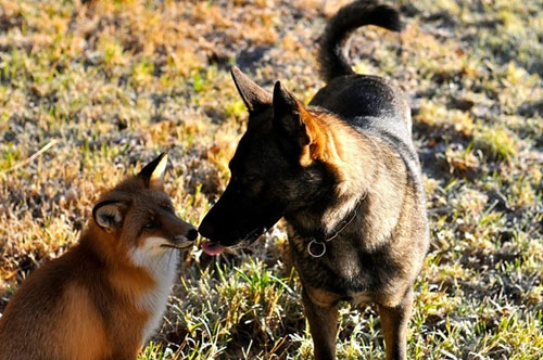 Real-Life Fox and Dog Best Friends Will Melt Your Heart