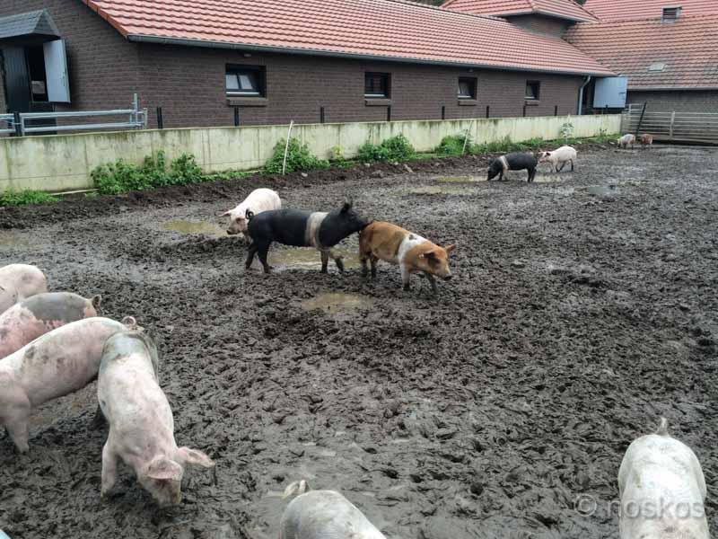 Livar Limburgs Kloostervarken