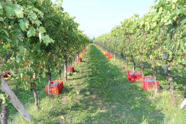 Cassette di uva appena raccolta dal terreno dell'azienda agricola Leali di MonteAcuto