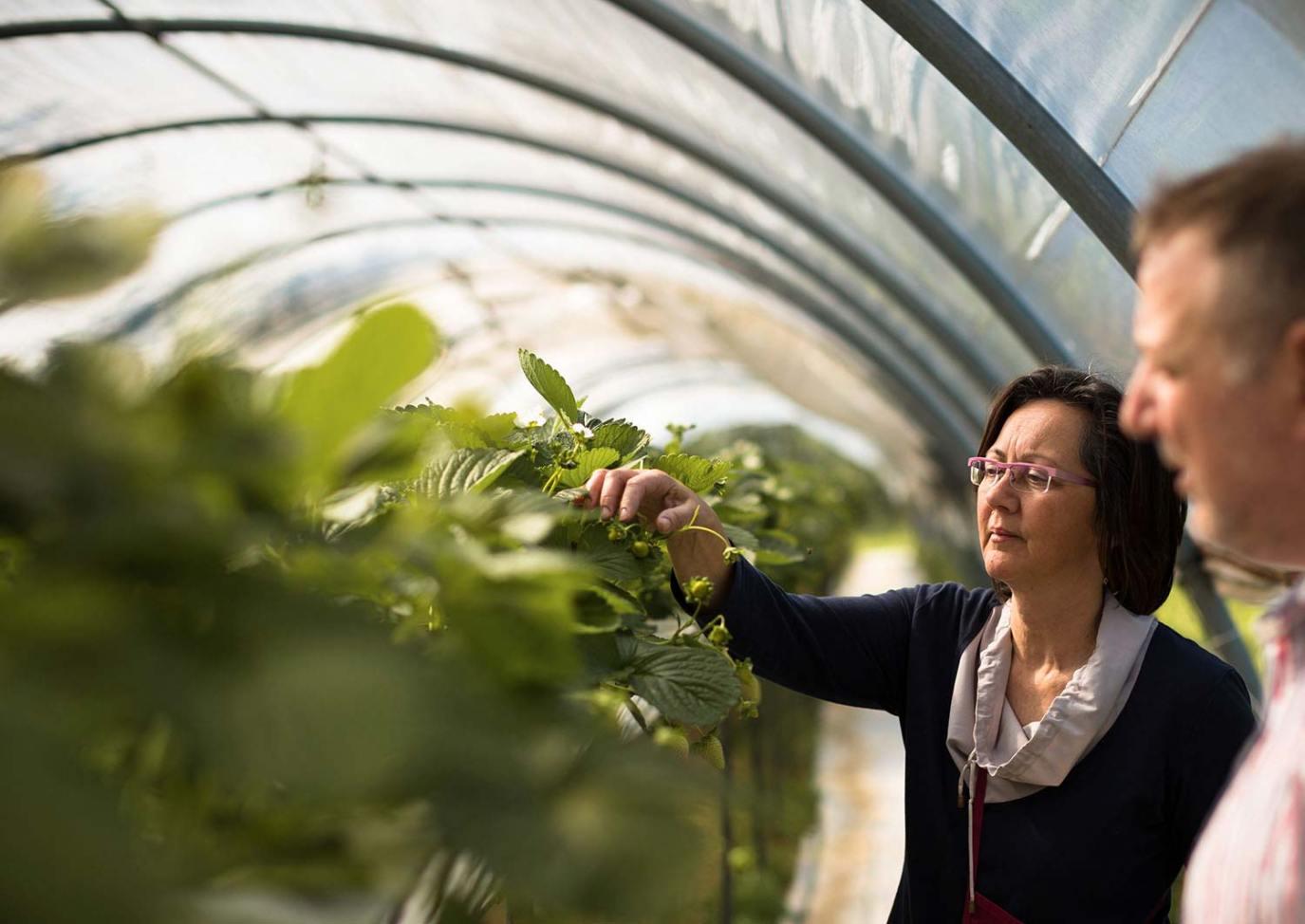 Rita mentre cura le sua piante di fragole a Salò