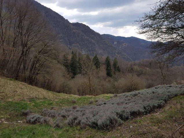 Lavanda coltivata in alta montagna nella provincia di Brescia