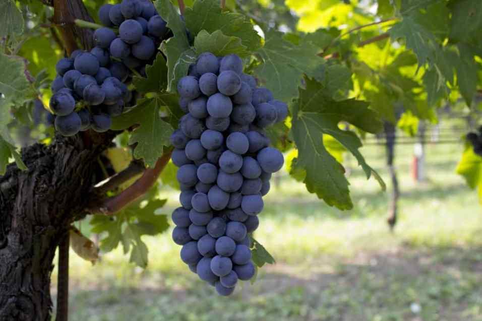 grappolo di uva per vino rosso groppello del garda