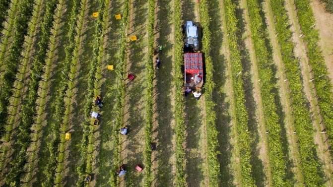 foto dal drone per raccolta uva azienda agricola leali di monte acuto