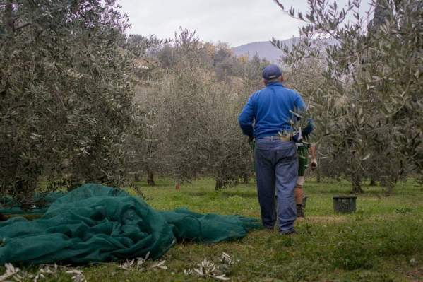 Raccolta delle olive biologiche su rete verde fatta sul lago di Garda