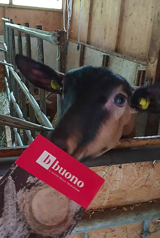 Capra camosciata in malga per produzione di formaggi caprini