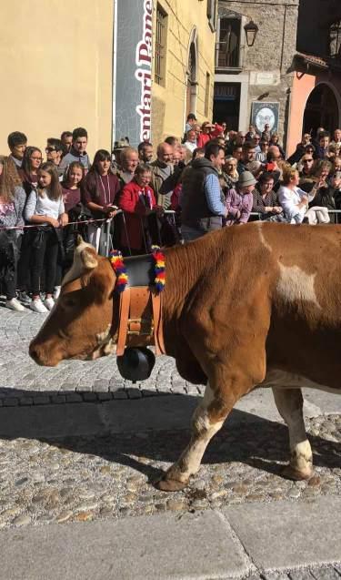Mucca con ornamenti durante la sfilata in piazza a Bagolino