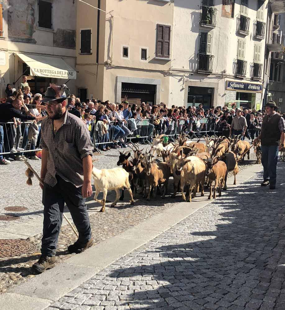 Sfilata delle capre durante il rientro dalla malga a Bagolino