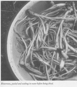 Bitterroot soaking in water before being dried to preserve it