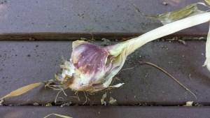 Garlc bulb past harvest