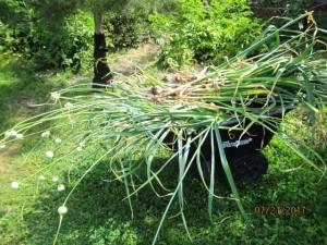 wheelbarrow of freshly pulled garlic