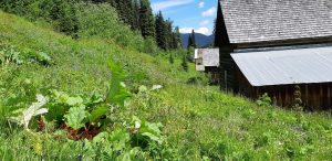 Rhubarb plants found along the slopes in Barkerville