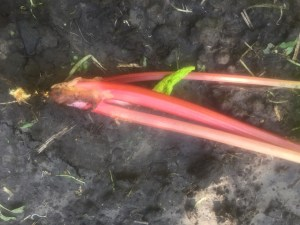 Rhubarb stalks pulled out