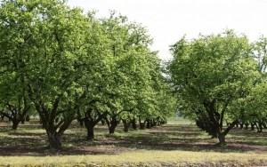 Commercial hazelnut grove