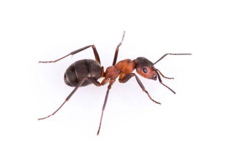 (Formicidae)