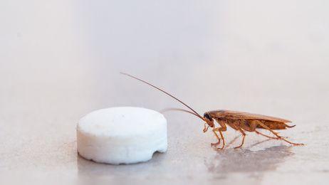 cucaracha feromonas