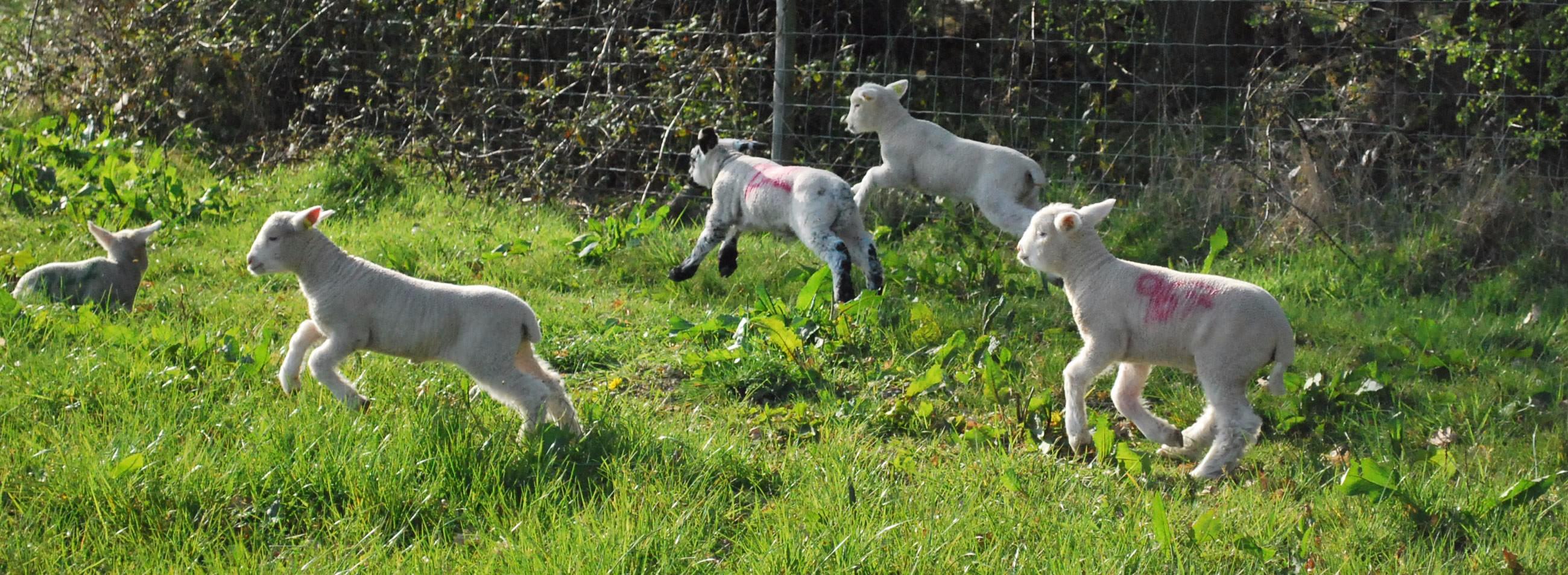 lambs fp