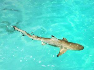 Hai, shark