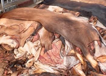 কোরবানির পশুর চামড়ার দাম এবার এক-তৃতীয়াংশ কমলো