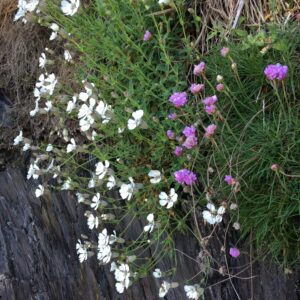 Spring flowers on the Coast Path