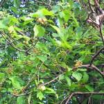 Cherries at Beacon Springs