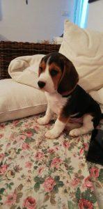 Beagle di nonna Filomena